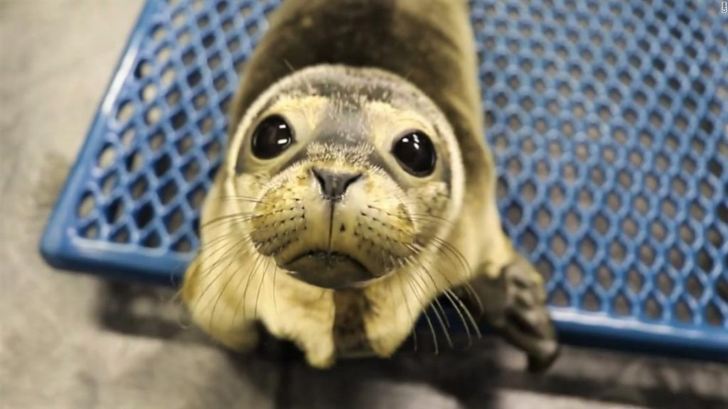 When Maine's seals are in hassle, she will get the decision
