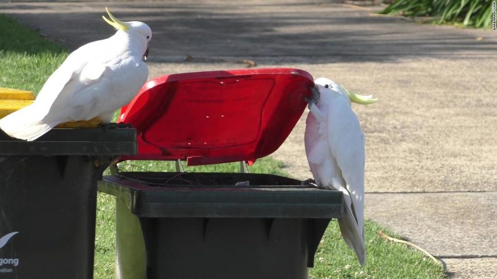 Why trash-raiding cockatoos in Sydney are smarter than 'bin chickens'